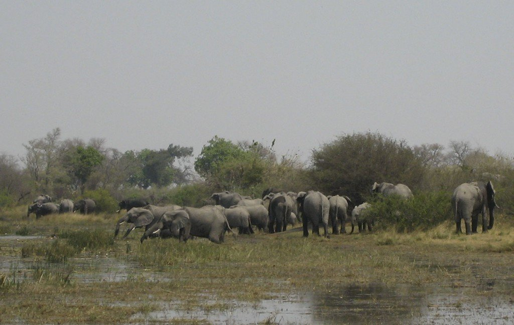 Eléphants dans l'Okavango